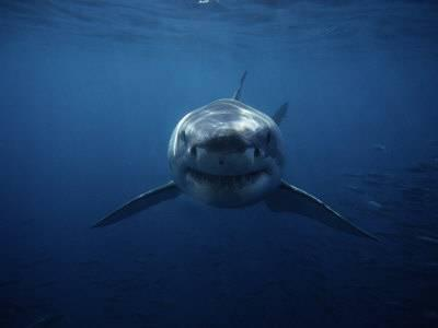 gerard-soury-great-white-shark-swimming-south-australia_a-l-3508441-14258389